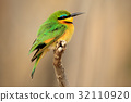Green and yellow bird Little Bee-eater, Merops 32110920
