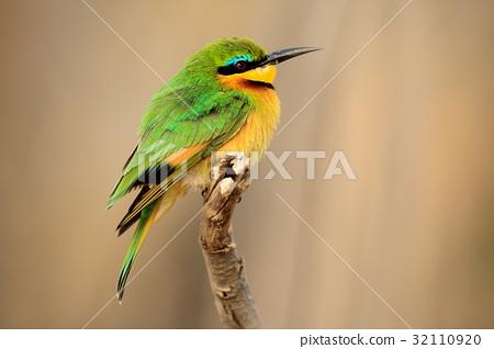 Green and yellow bird Little Bee-eater, Merops 32110920