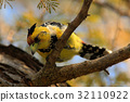 Yellow birds Crested Barbet, Trachyphonus 32110922
