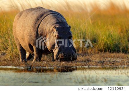 African Hippopotamus, Hippopotamus amphibius 32110924