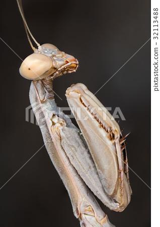 Mantis Iris oratoria 32113488