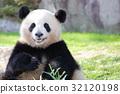 熊猫 竹叶草 动物 32120198