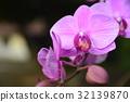 蘭花 32139870