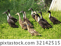 a flock of running entes 32142515