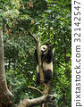 Big panda 32142547