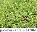 small tiny grey orange brown wild small lizard 32142860