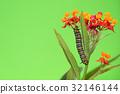 butterfly caterpillar milkweed 32146144