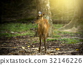 Muntiacus muntjak or fea's barking deer. 32146226