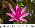 Pink waterlily in pond 32146666