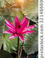 Pink waterlily in pond with sunlight. 32146669