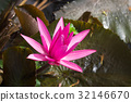 Pink waterlily in pond 32146670