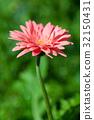 Gerber flower 32150431