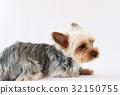 요크셔테리어, 개, 강아지 32150755