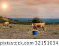 Cows graze on a meadow of mountain at sunset of Gr 32151034