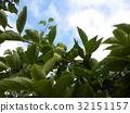 柿子 水果 绿色 32151157