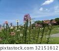 醉蝶花属 西方蝴蝶和草 粉色 32151612