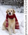 Handsome golden retriever dog wearing red scarf. 32152504