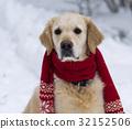 Handsome golden retriever dog wearing red scarf. 32152506