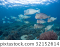 School of bumphead parrotfish  32152614