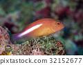 Arc-eye hawkfish (Paracirrhites arcatus)   32152677