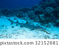 Nurse shark quiet on sandy ground  32152681