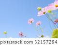 คอสมอส,ดอกไม้,สดใส 32157294