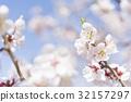 ลูกท้อ,บ๊วย,ดอกท้อญี่ปุ่น 32157297