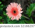 Gerber flower 32166297