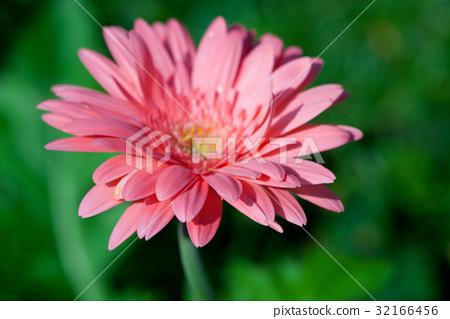 Gerber flower 32166456