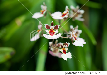 Closeup of orchids 32166458