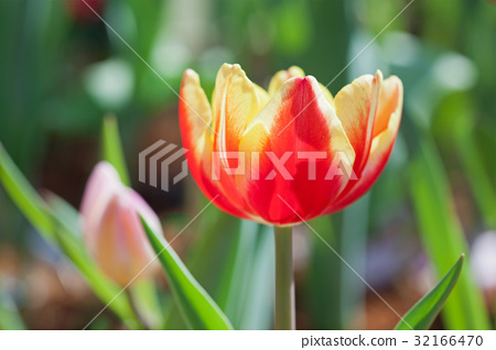 Yellow-red tulips 32166470