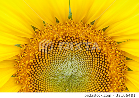 Sunflower 32166481
