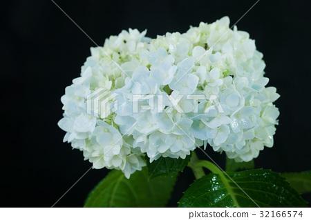 Beautiful hortensia flower 32166574
