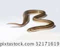 Close up snake on white background isolated 32171619