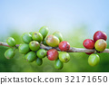 Coffee tree with ripe berries on farm 32171650