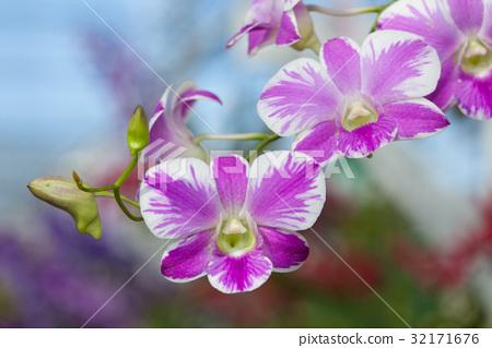 Purple orchids 32171676