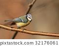 Blue tit (Parus caeruleus) on a twig 32176061