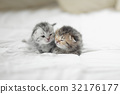 Cute tabby kittens lying 32176177