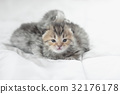 Cute tabby kittens lying 32176178
