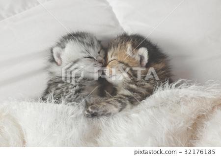 Cute tabby kittens sleeping and hugging 32176185