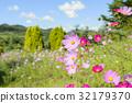 คอสมอส,ทุ่งดอกไม้,ดอกไม้ 32179370