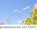 คอสมอส,ดอกไม้,สดใส 32179371