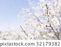 ดอกพลัม (พลัมสีขาว) 32179382