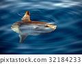 Sunfish underwater while eating jellyfish 32184233