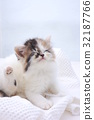 Scottish fold, cat, pussy 32187766