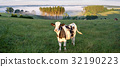 Belgian countryside - Ardennes. Cows on pasture 32190223