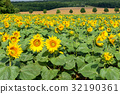 French countryside - Lorraine. Sunflowers 32190361