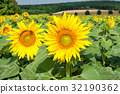 French countryside - Lorraine. Sunflowers 32190362