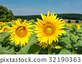 French countryside - Lorraine. Sunflowers 32190363