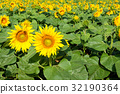 French countryside - Lorraine. Sunflowers 32190364